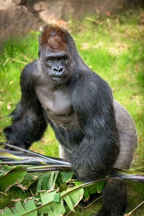 photos  gorillas explore new houston enclosure