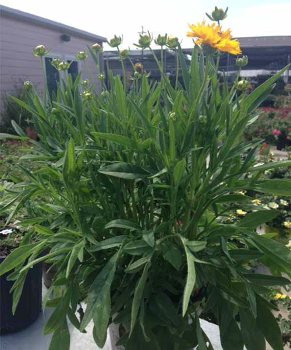 <div class='meta'><div class='origin-logo' data-origin='none'></div><span class='caption-text' data-credit='KTRK Photo'>Early Sunrise Coreopsis</span></div>