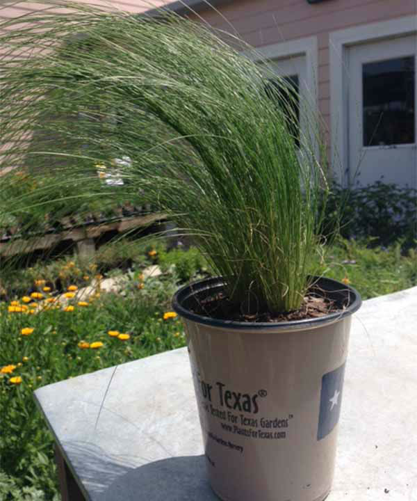 <div class='meta'><div class='origin-logo' data-origin='none'></div><span class='caption-text' data-credit='KTRK Photo'>Mexican Feather Grass</span></div>