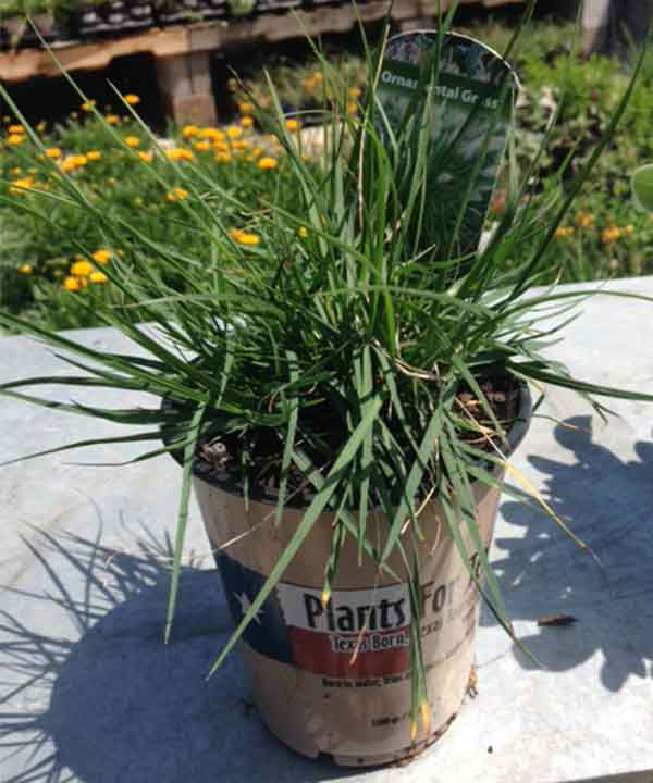 <div class='meta'><div class='origin-logo' data-origin='none'></div><span class='caption-text' data-credit='KTRK Photo'>Hameln Fountain Grass</span></div>