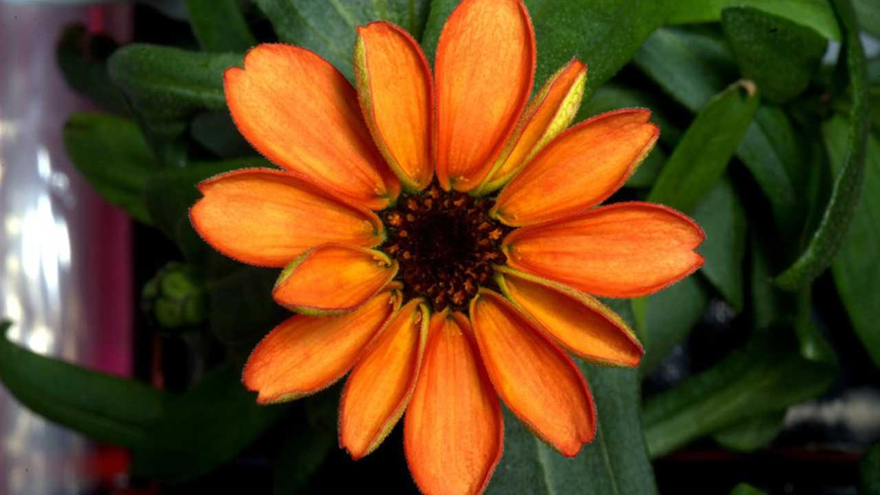 PHOTO: First flower to bloom in space