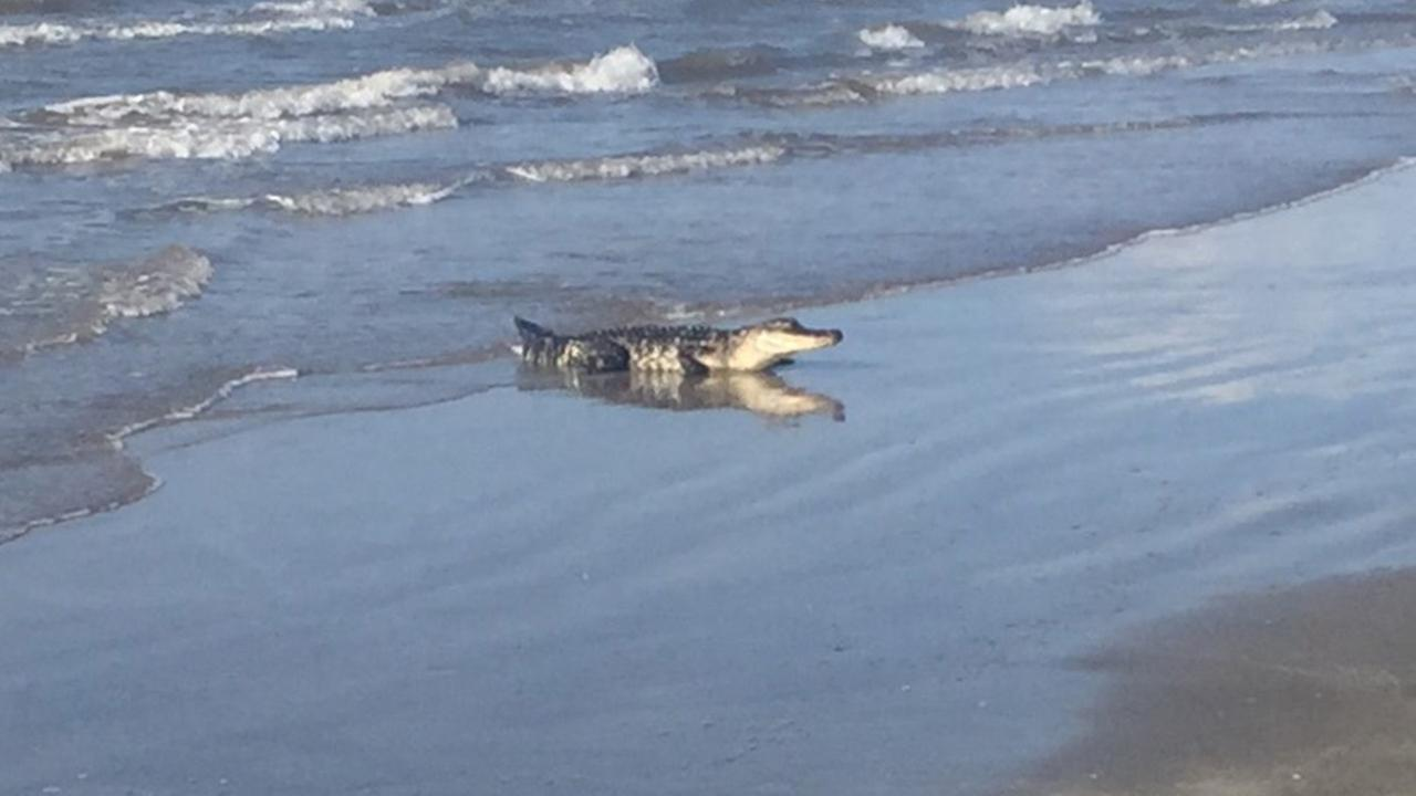 Alligator Spotted In Water At Surfside Beach