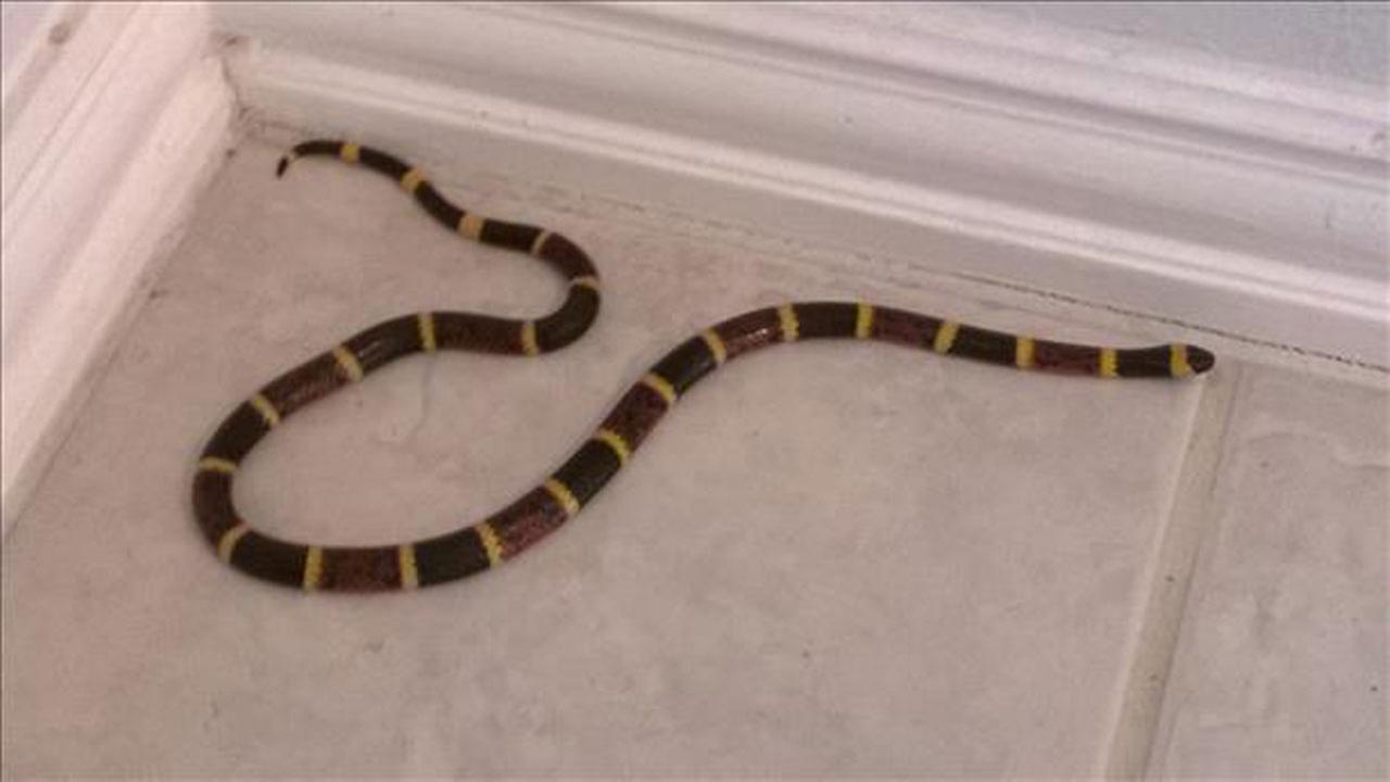 Dad uses barbecue tongs to catch coral snake in League City home