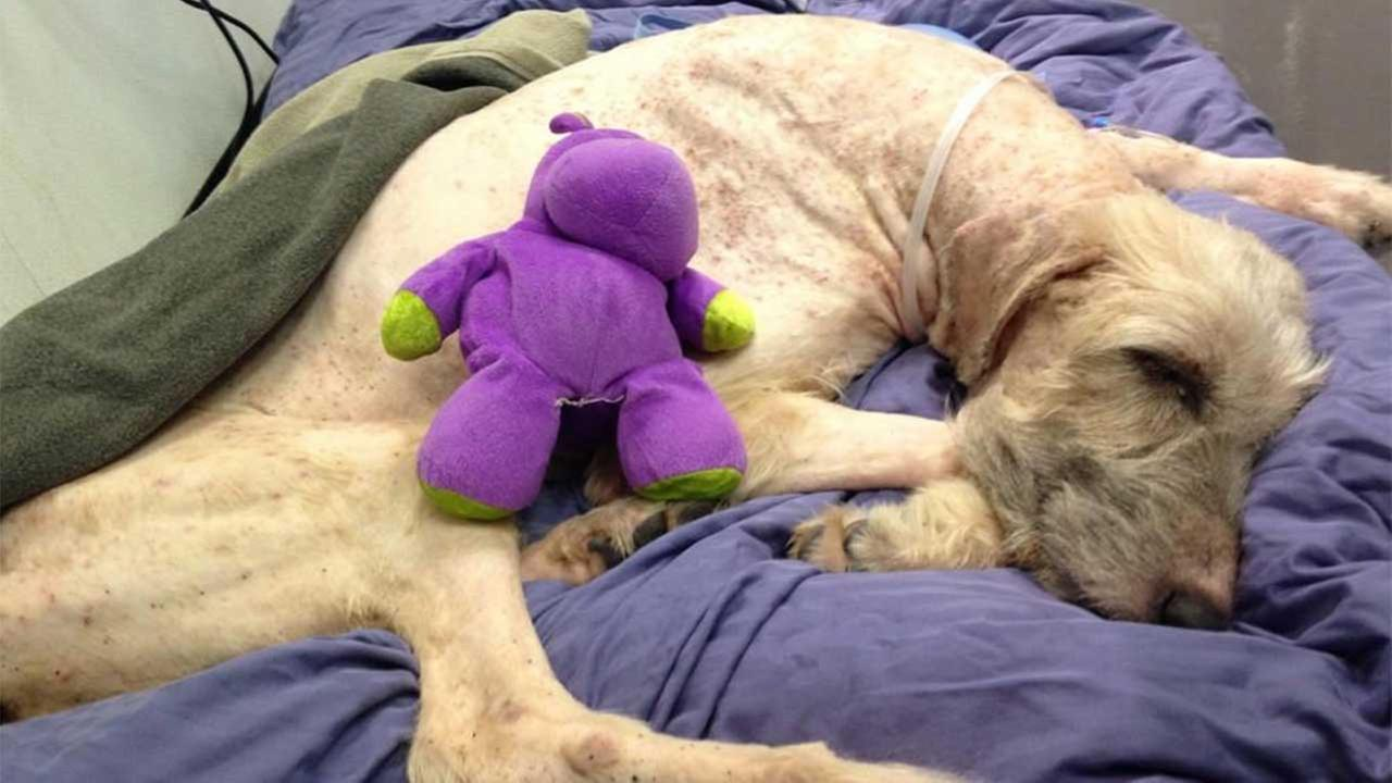 This 7-year-old female Irish Wolfhound has received two blood transfusions. She is emaciated, anemic and dehydrated.