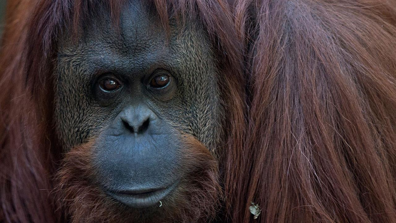 The orangutan named Sandra sits in her enclosure at Buenos Aires Zoo in Buenos Aires, Argentina, Monday, Dec. 22, 2014.