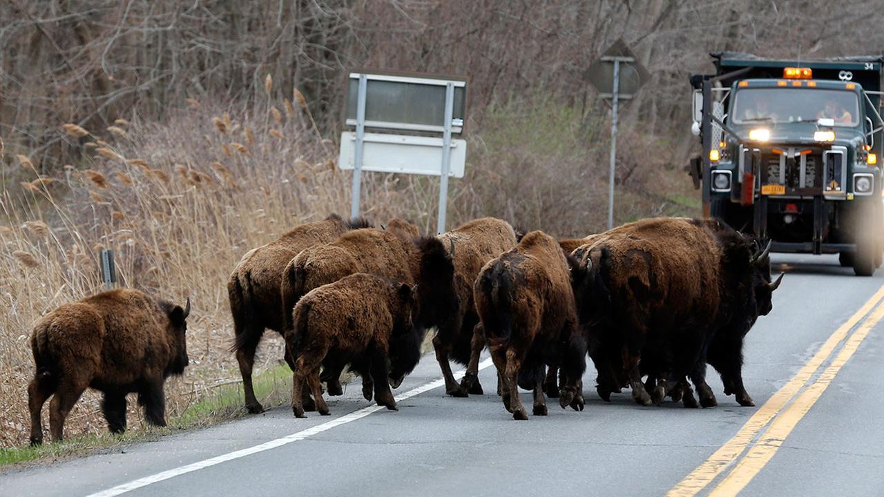 Loose buffaloes
