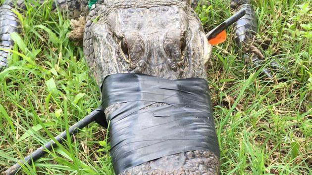 Gator with arrow through head found in Missouri City yard