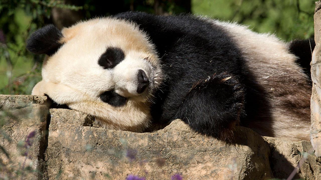 Mei Xiang the panda