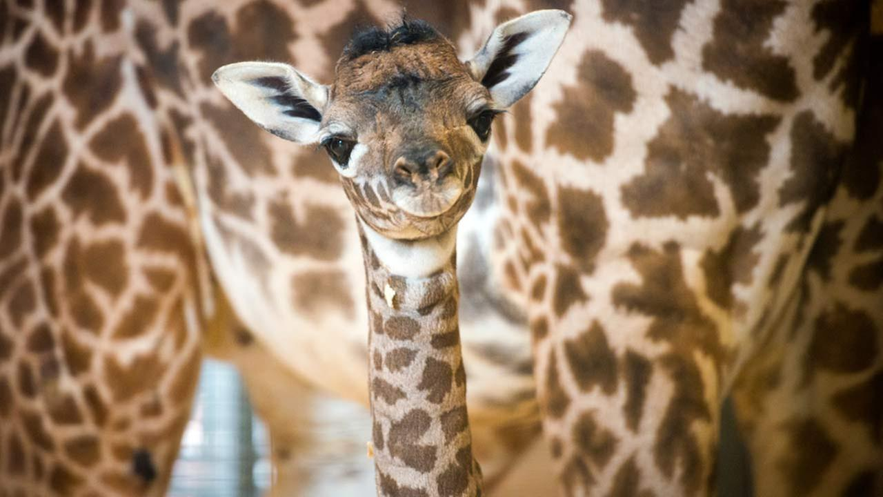 The Houston Zoo is proud to announce the birth of a female Masai giraffe.