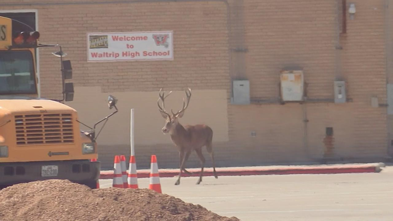 Deer spotted outside Waltrip HS
