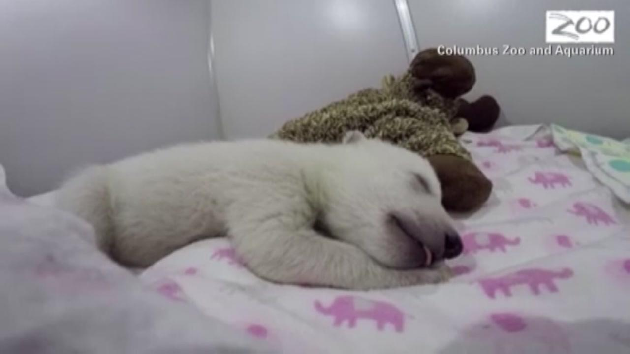 Polar bear cub dreaming