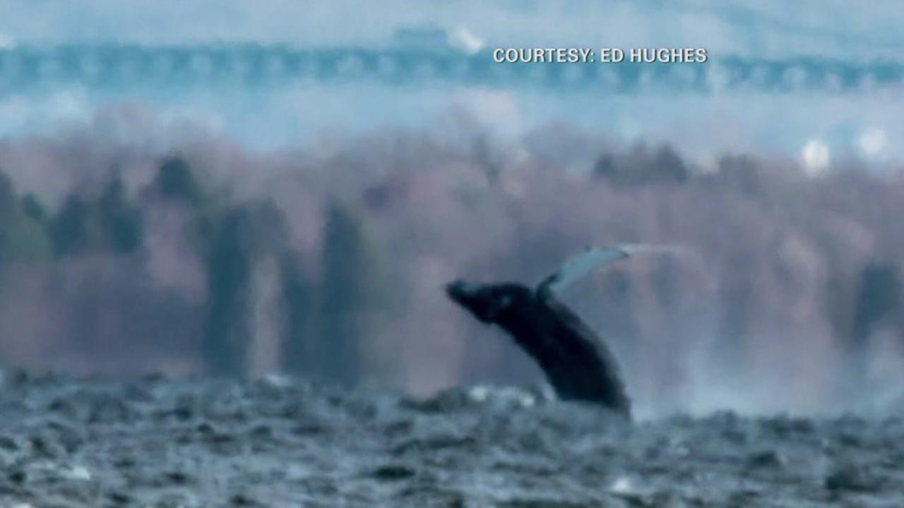 Rare humpback whale sighting