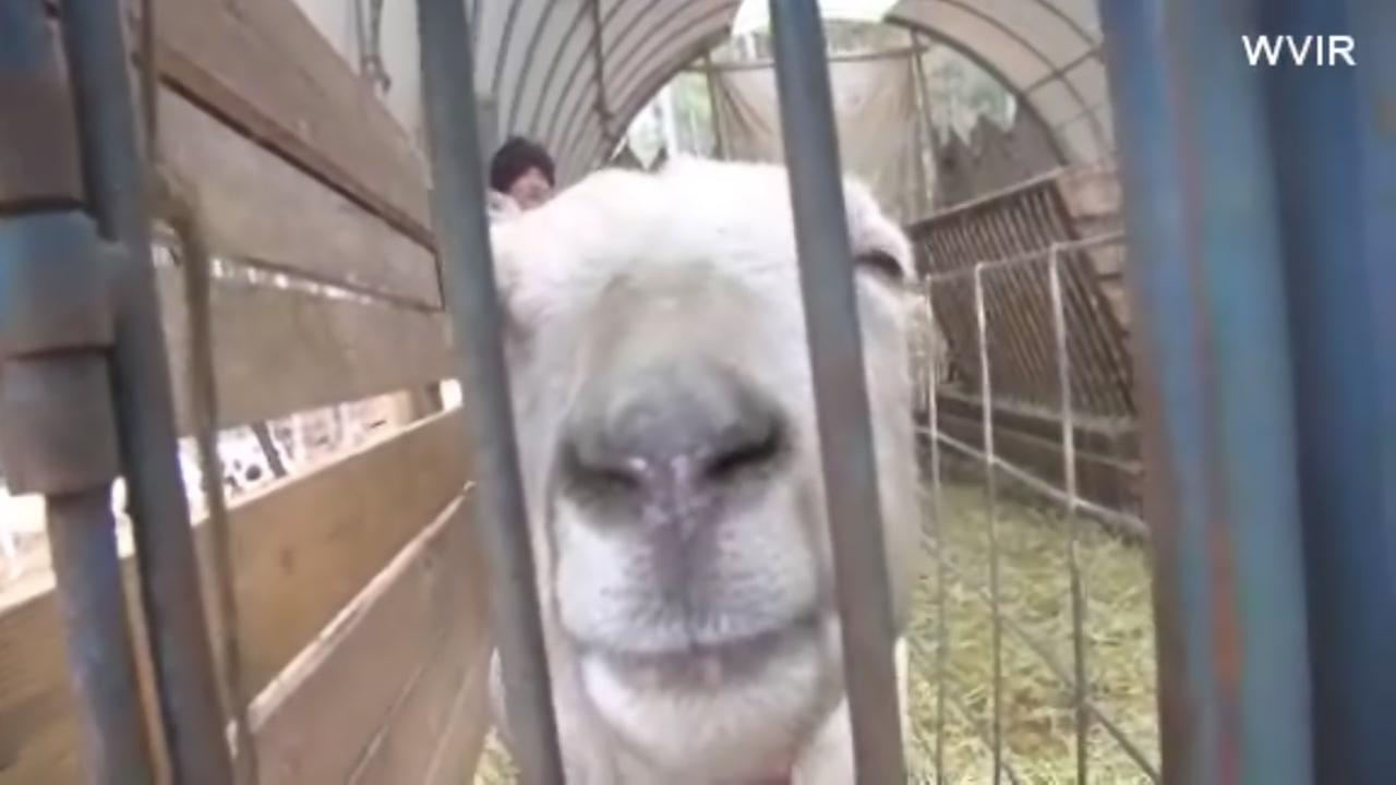 Farm calls for goat cuddlers