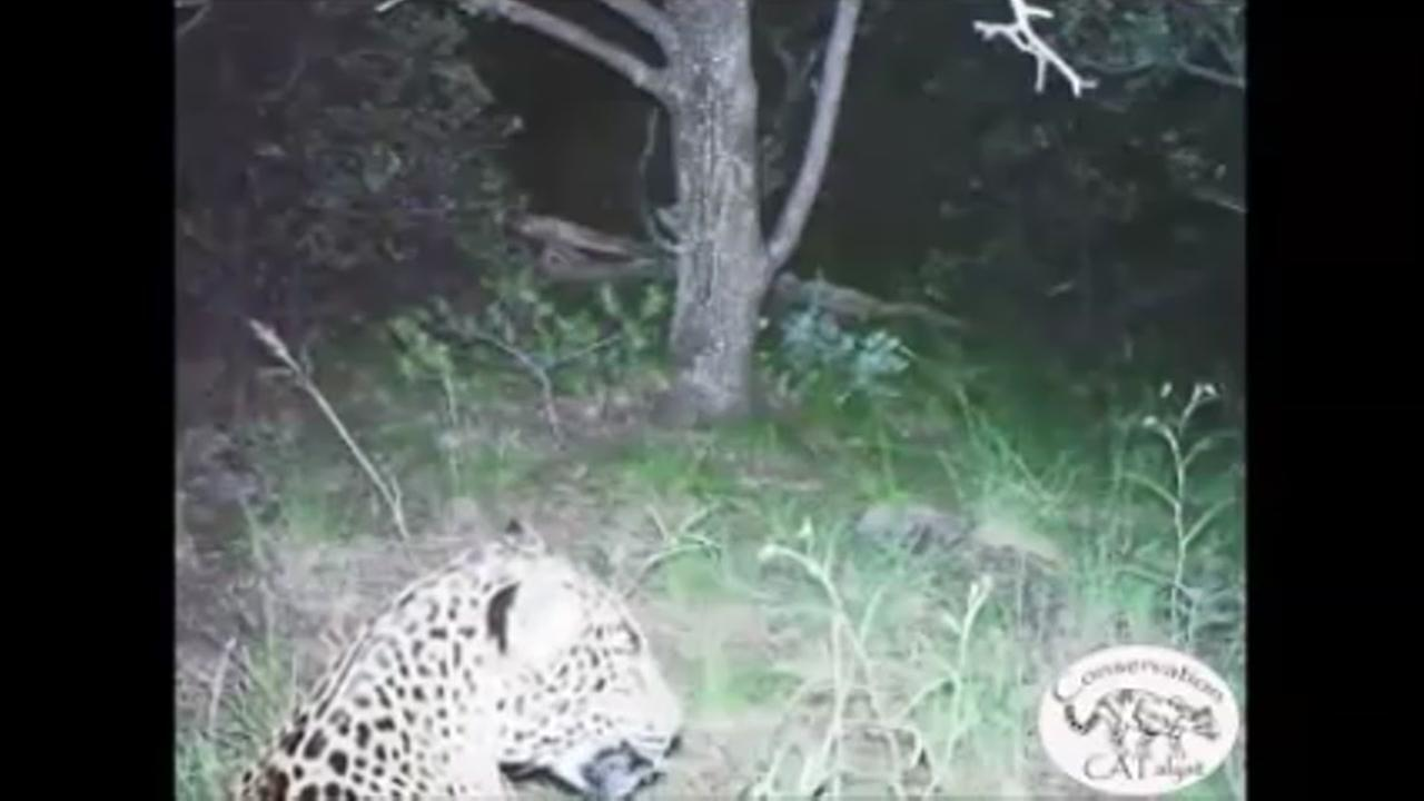 Video of last known wild jaguar in U.S.