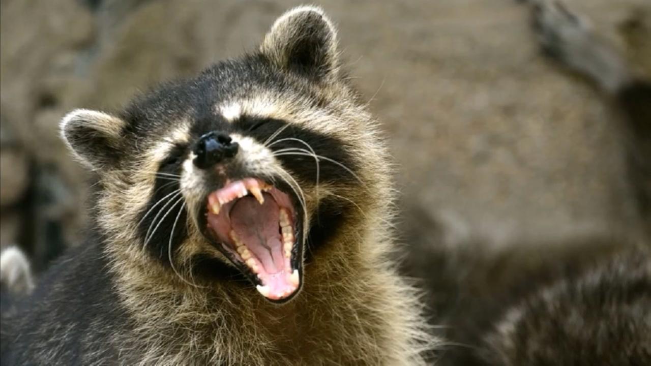 Raccoon distempter outbreak