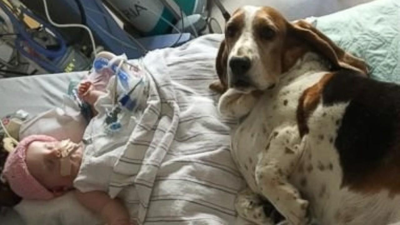 Basset Hounds Stay At Side Of Dying Baby Until The Very