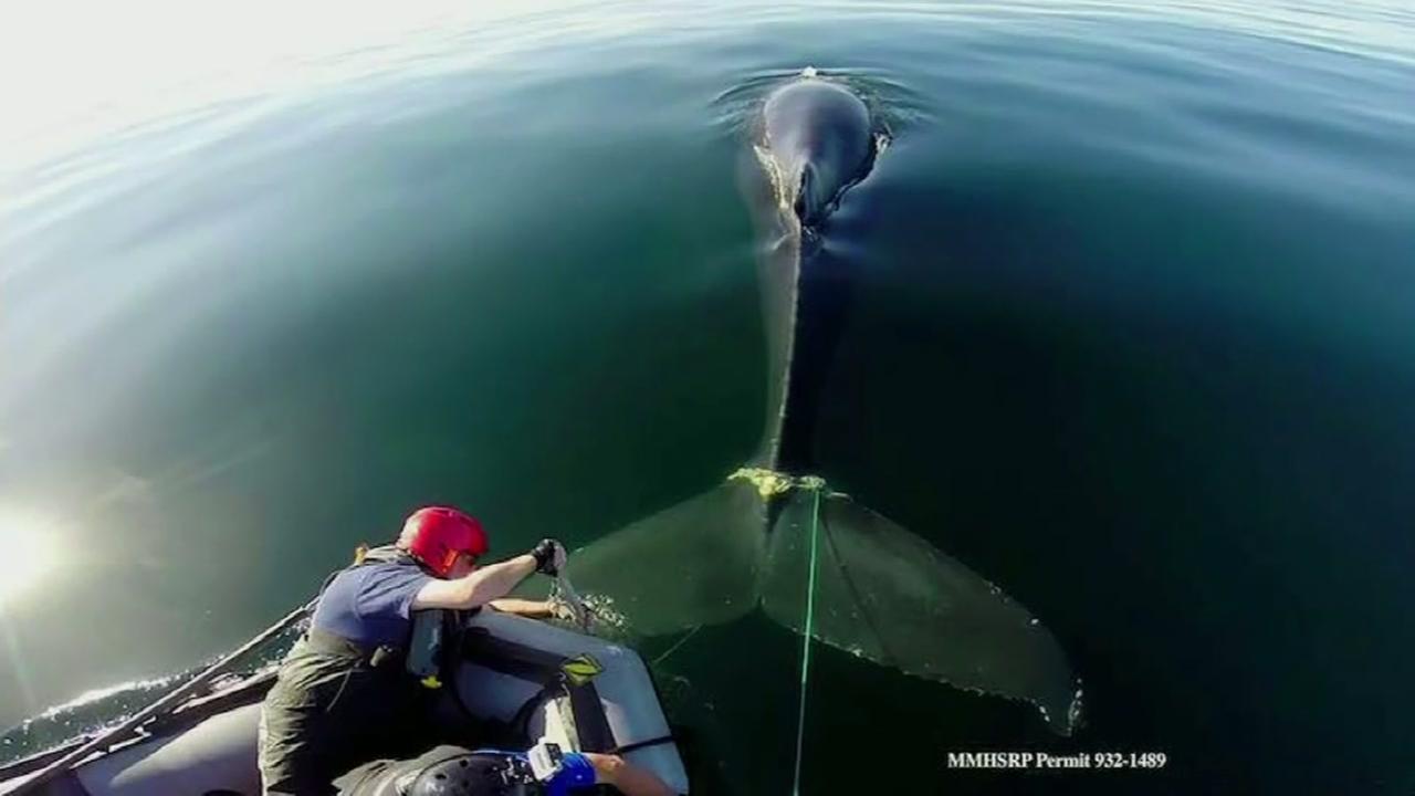 Rescue team frees entangled Humpback Whale