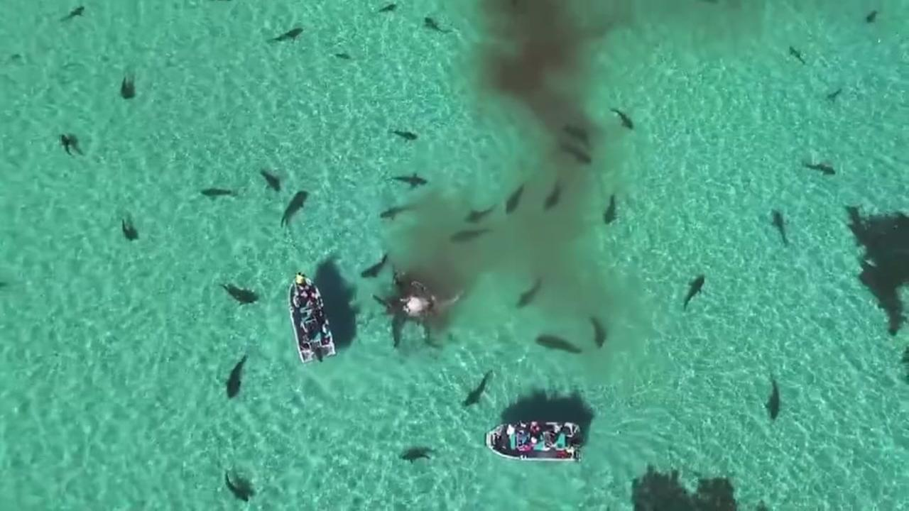 Shark feeding frenzy in Western Australia