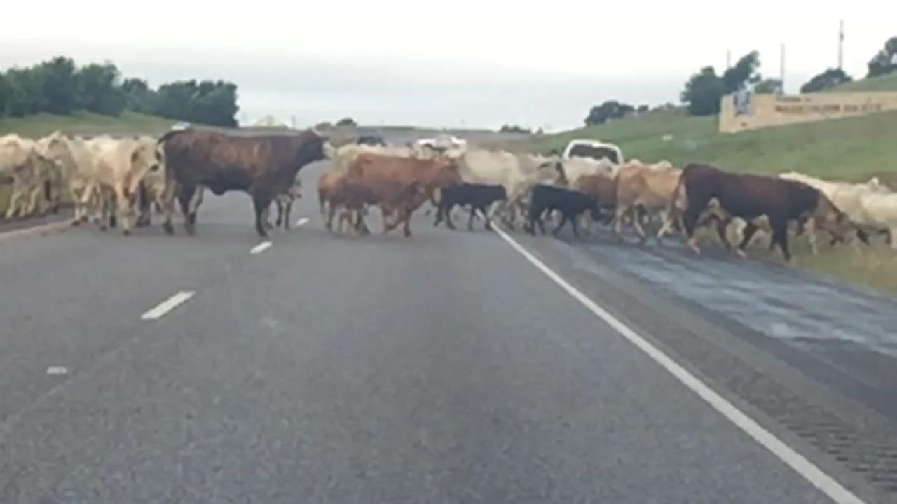 Walker County Sheriffs Deputies drive cattle to higher ground