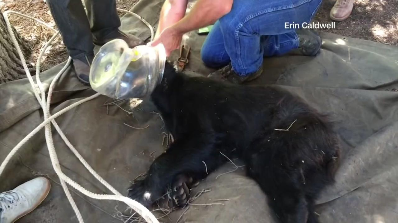 Colorado man saves bear with jug stuck on head