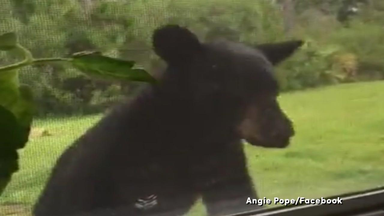 WATCH:Woman livestreams bear peeking in her window