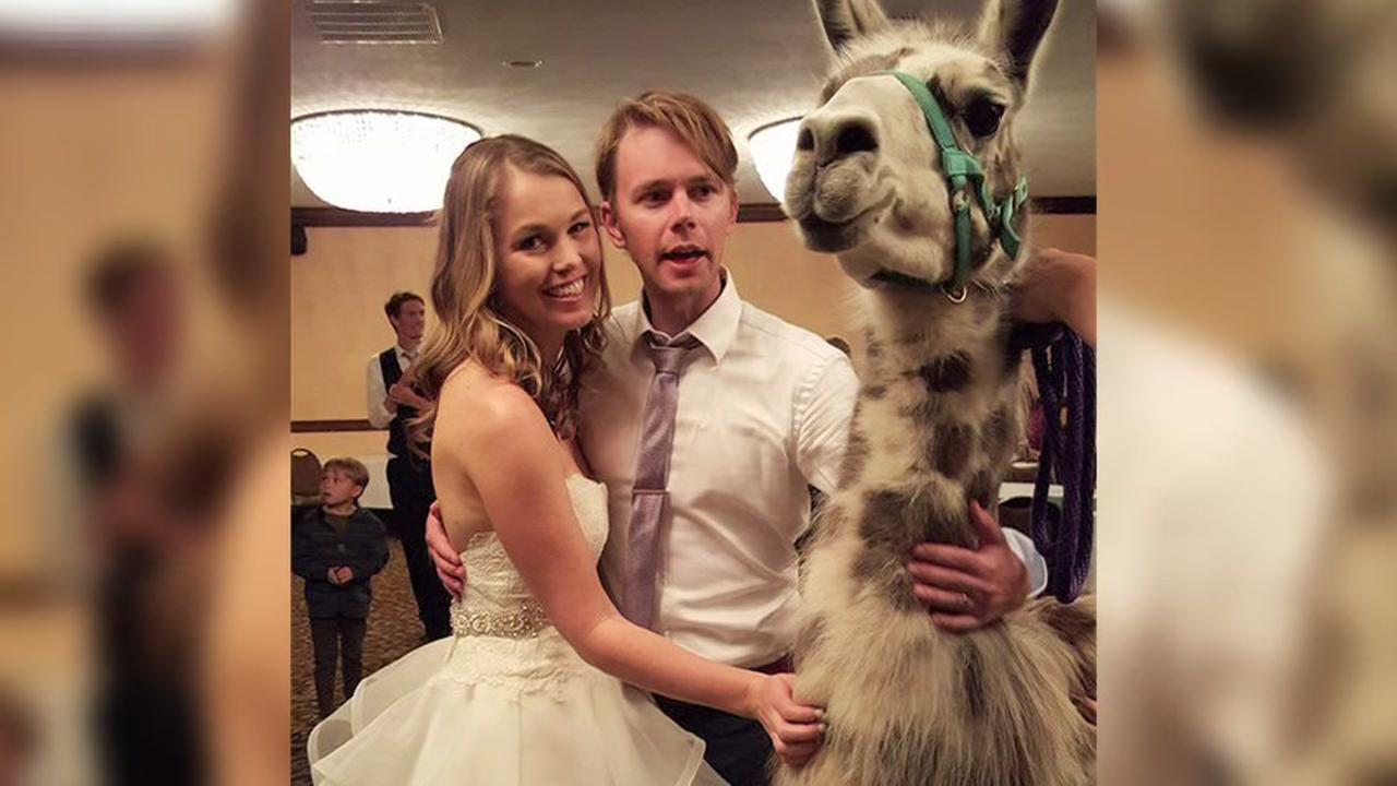 Llamas crash couples wedding