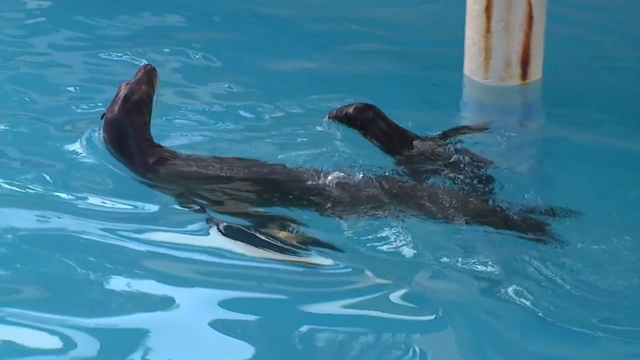 Sea pup TJ makes debut at Houston Zoo