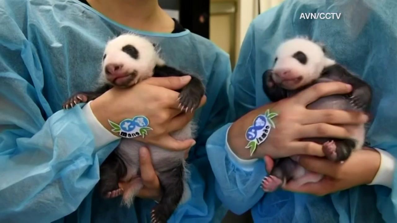 Adorable twin panda cubs names announced