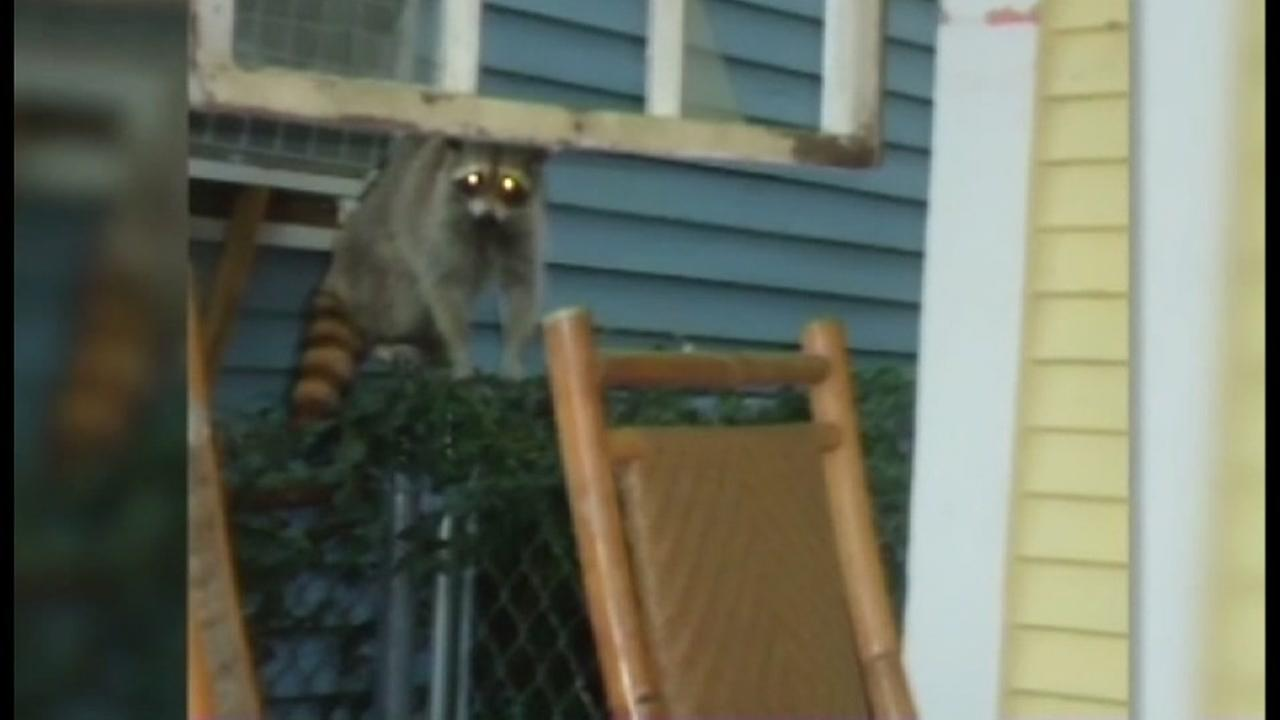 Aggressive Raccoon House demolished