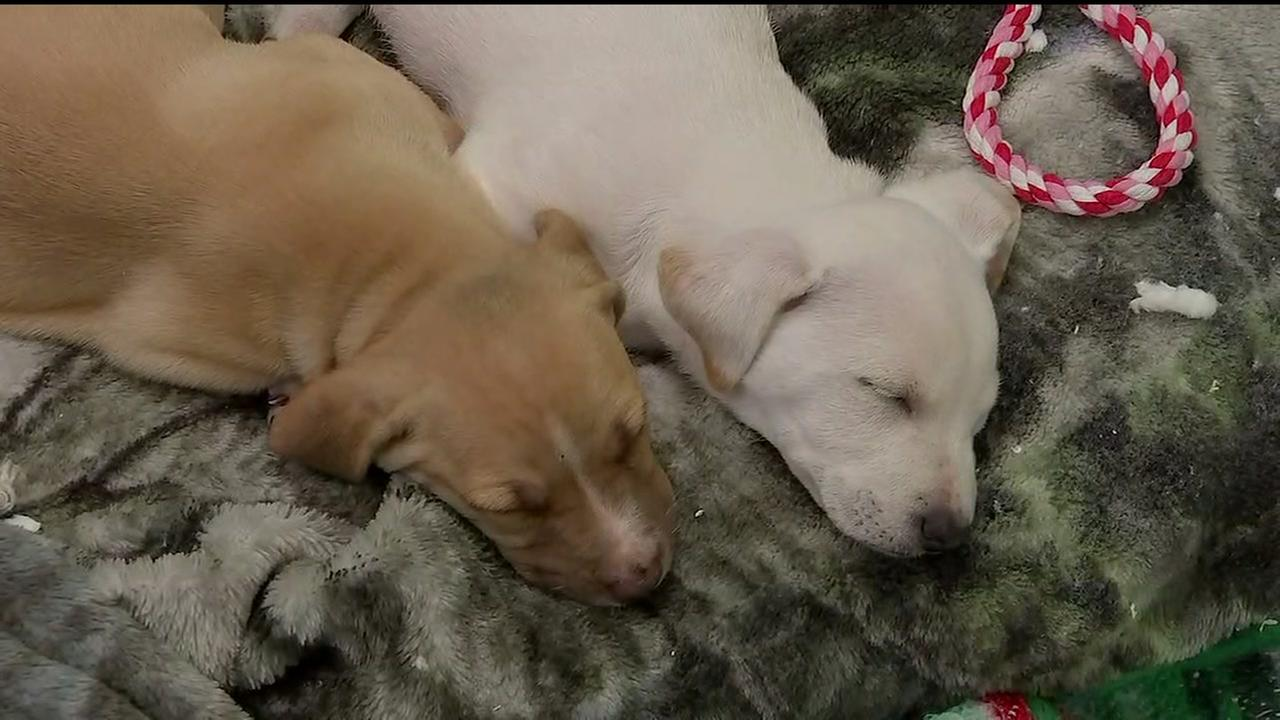 Puppies dumped in Fort Bend County up for adoption