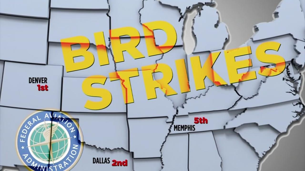 How common are airplane bird strikes?