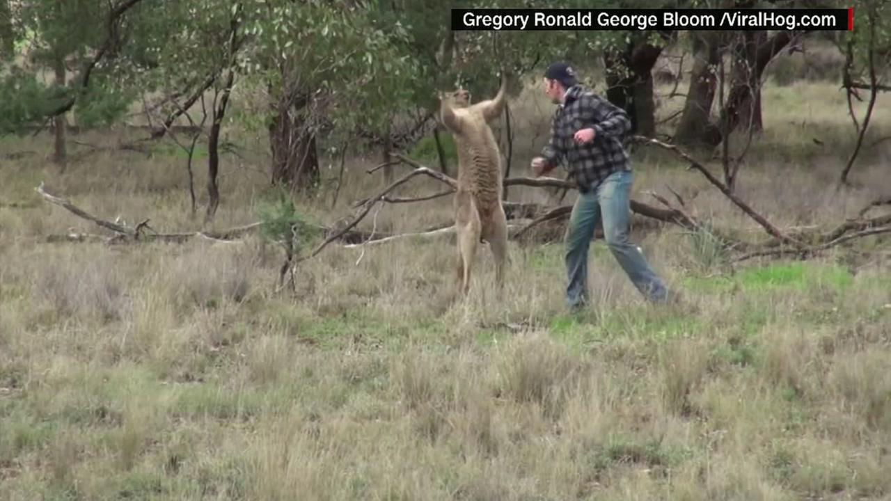 Punches kangaroo