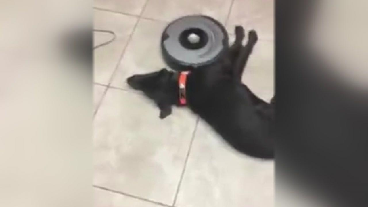 Gauge gets over his fear of the Roomba