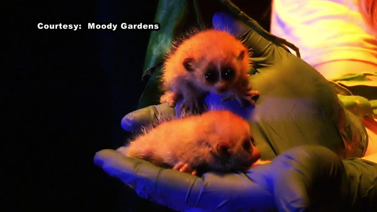 Pygmy Slow Loris twins born