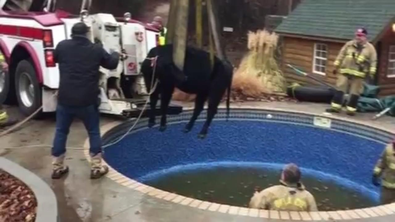 Cow rescued from pool in Oklahoma City