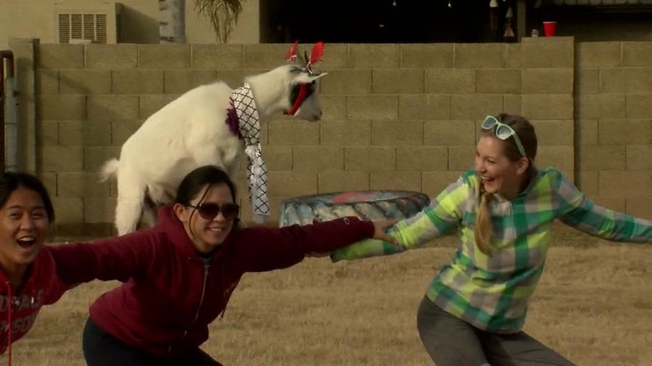 Trend Alert: Goat yoga
