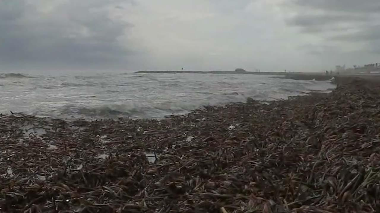 Mysterious plants wash up near seawall in Galveston