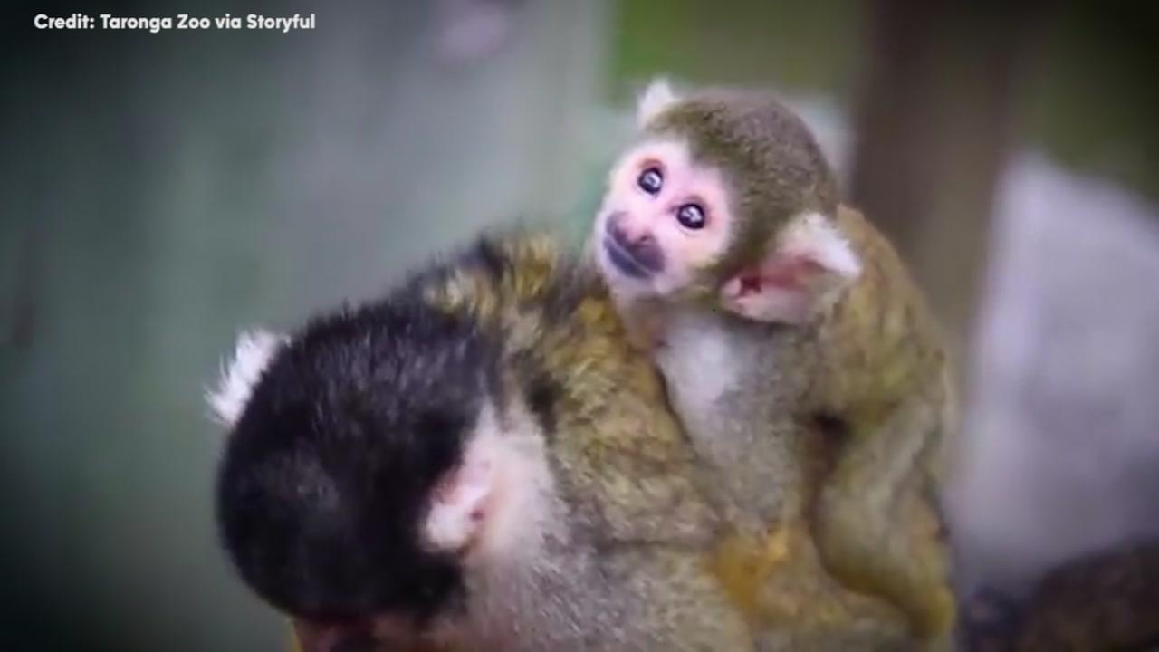 Squirrel monkeys make the most adorable backpacks