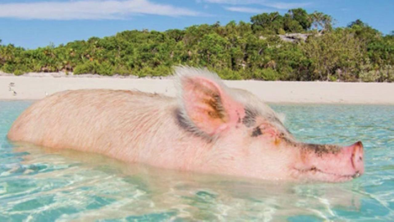 Pigs died in Bahamas