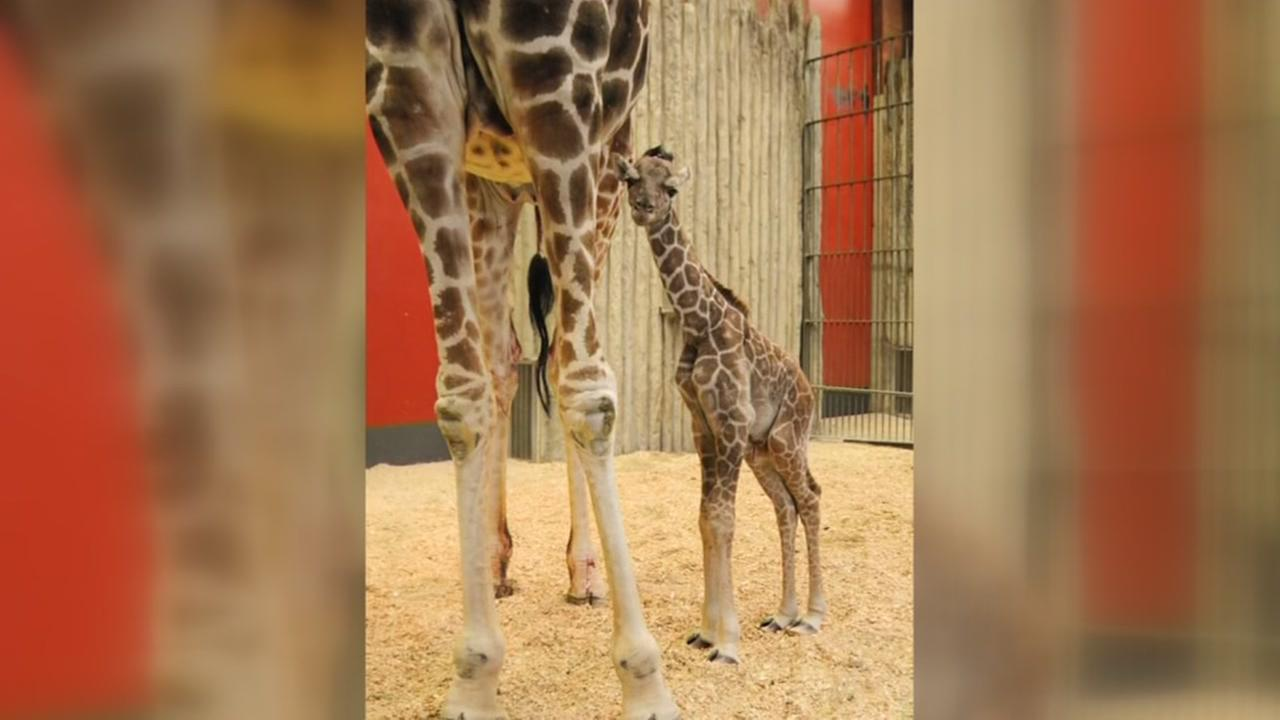 Giraffe born after birth control fails