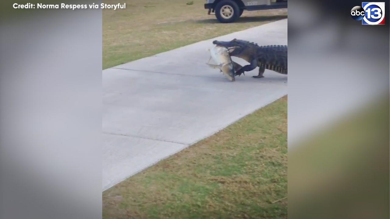 Alligator strolls across golf course carrying big fish in for Big fish golf