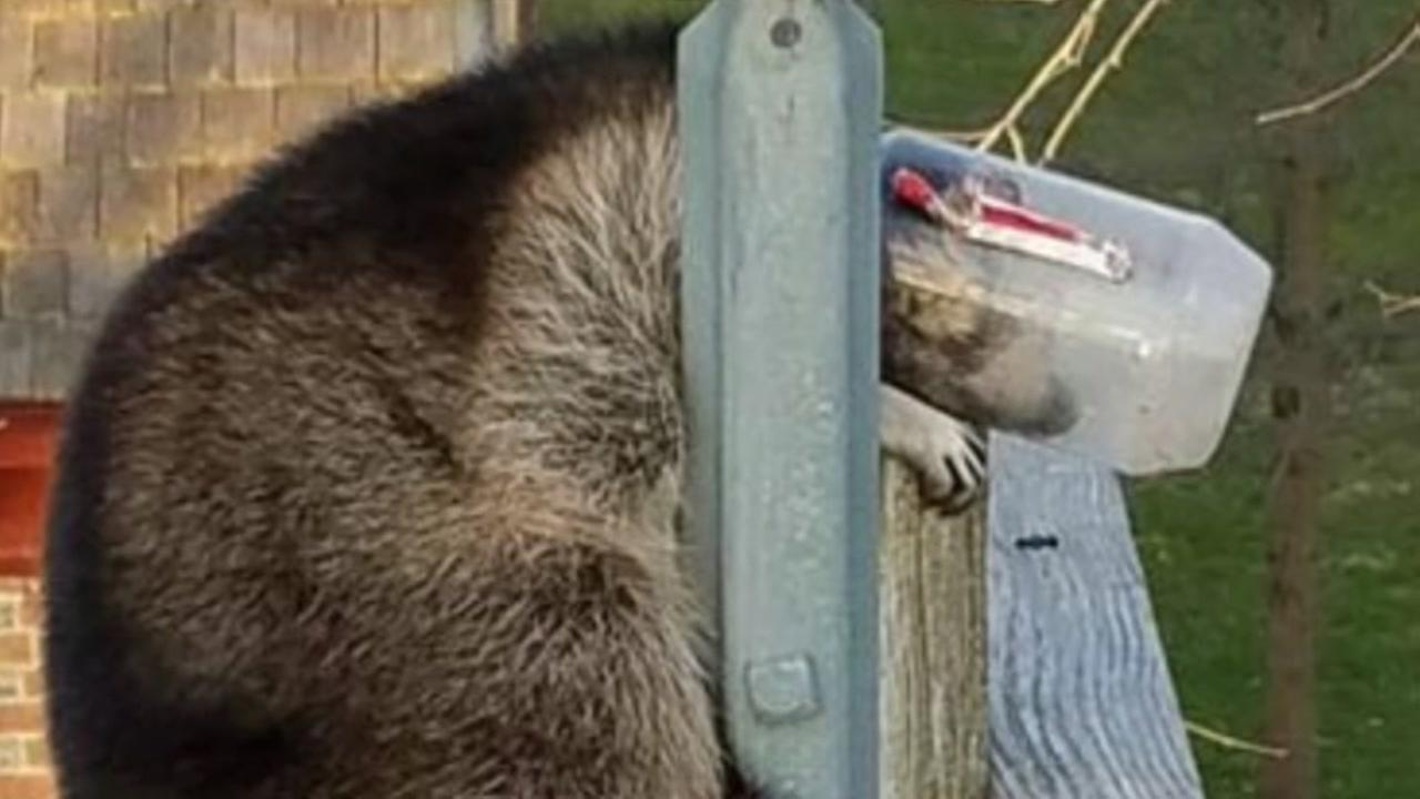 Raccoon gets head stuck inside jar