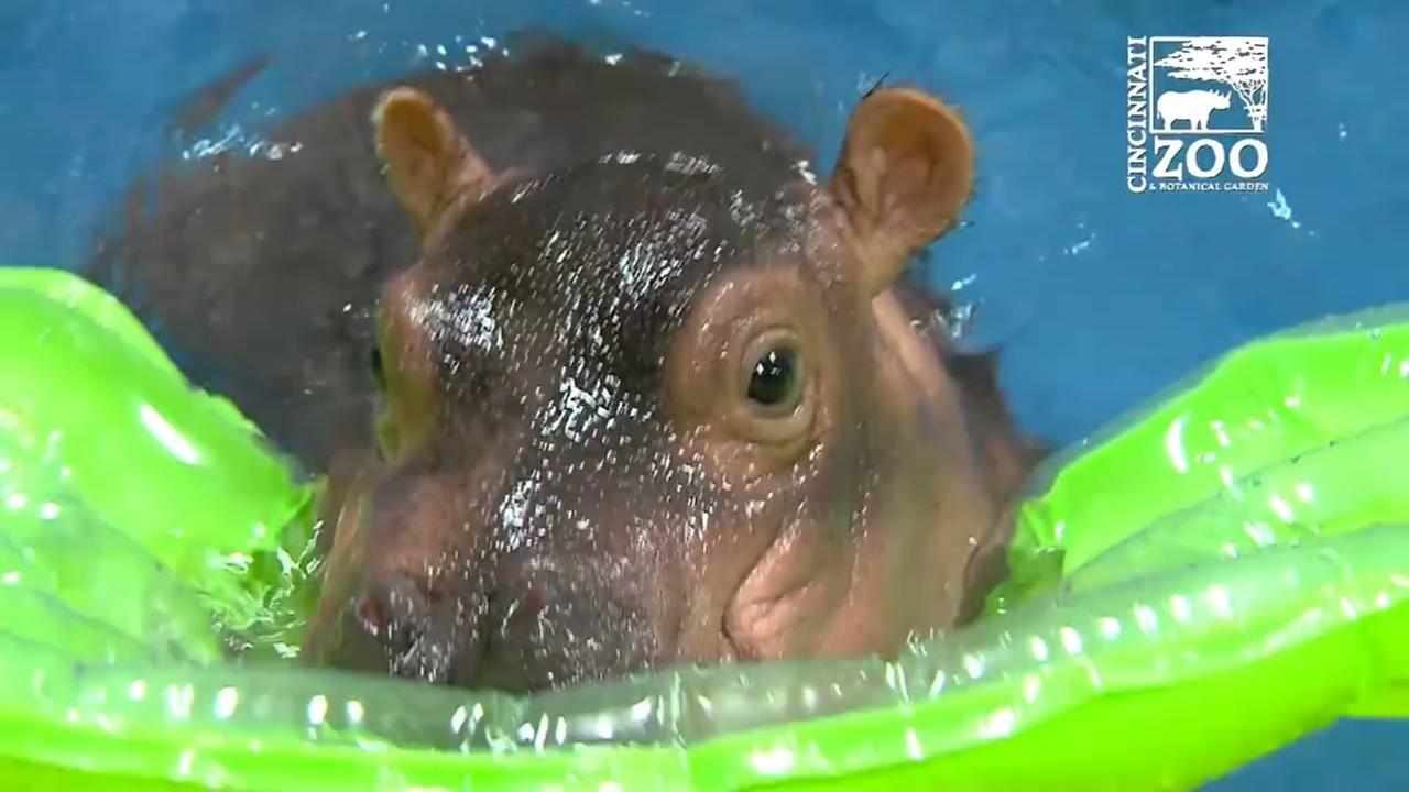 Adorable baby hippo splashes around in pool at Cincinnati Zoo