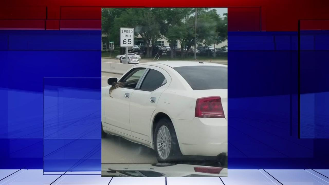Woman captures large snake hanging out of car window