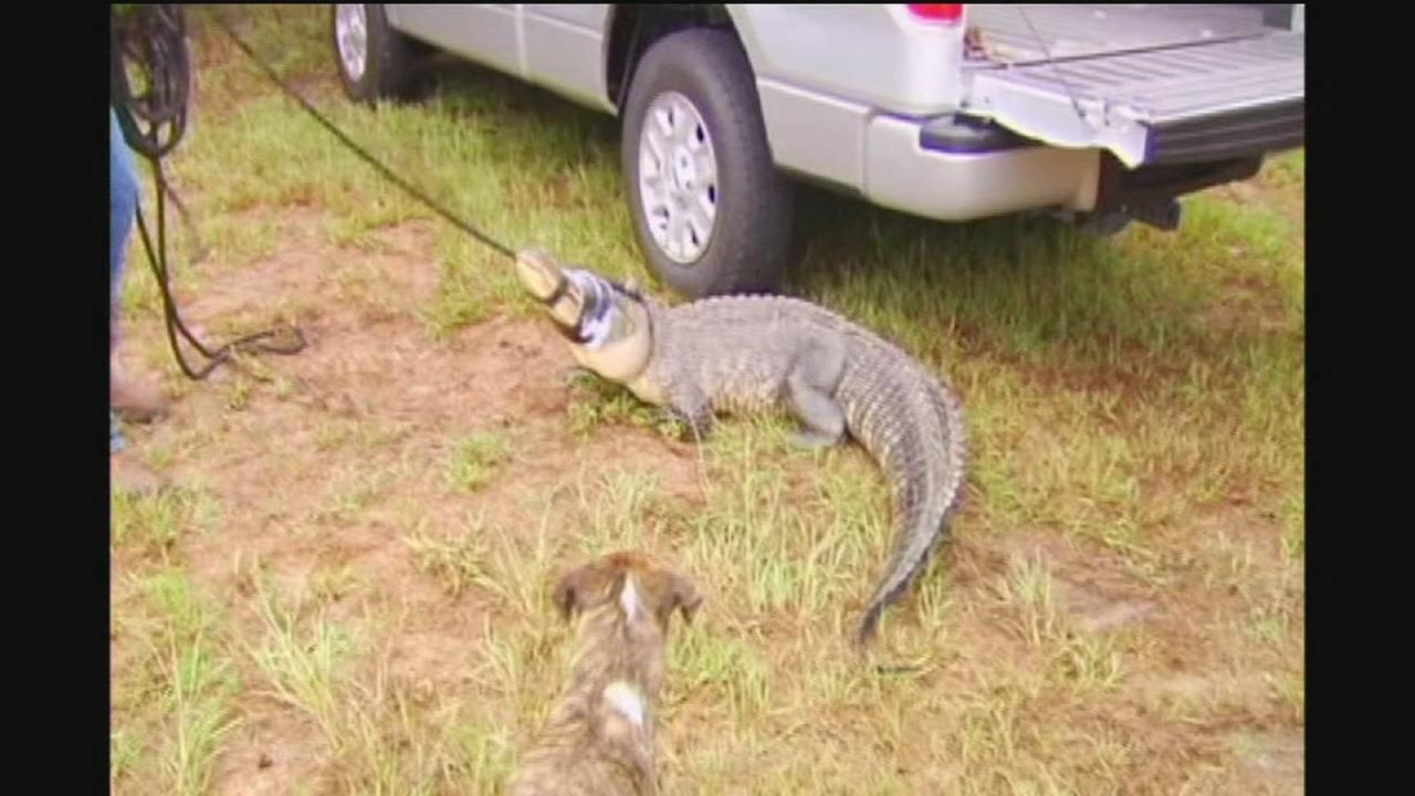 Alligator chases teen campers