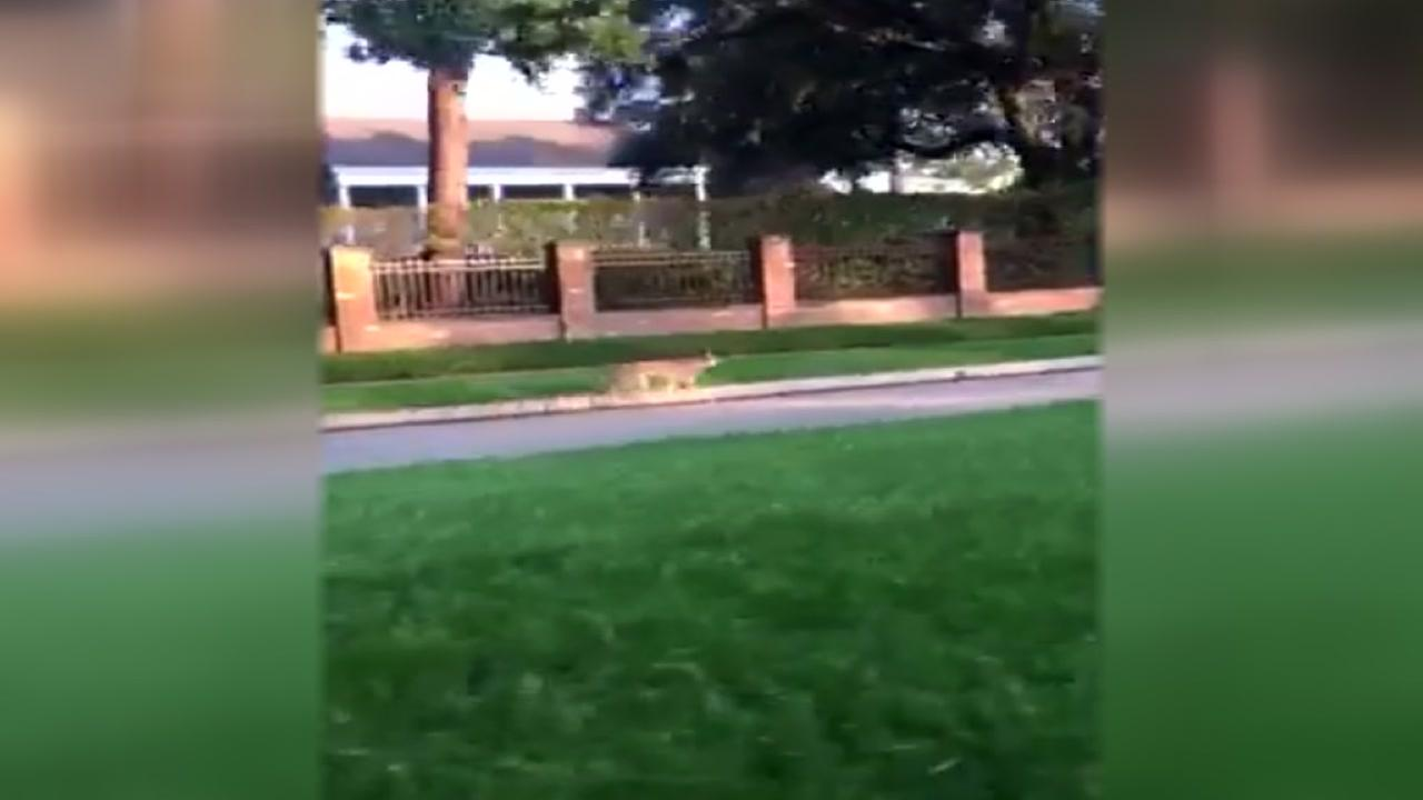 Coyote spotted in River Oaks