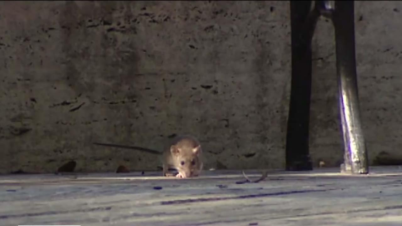 Rat problem in Montrose and Midtown areas
