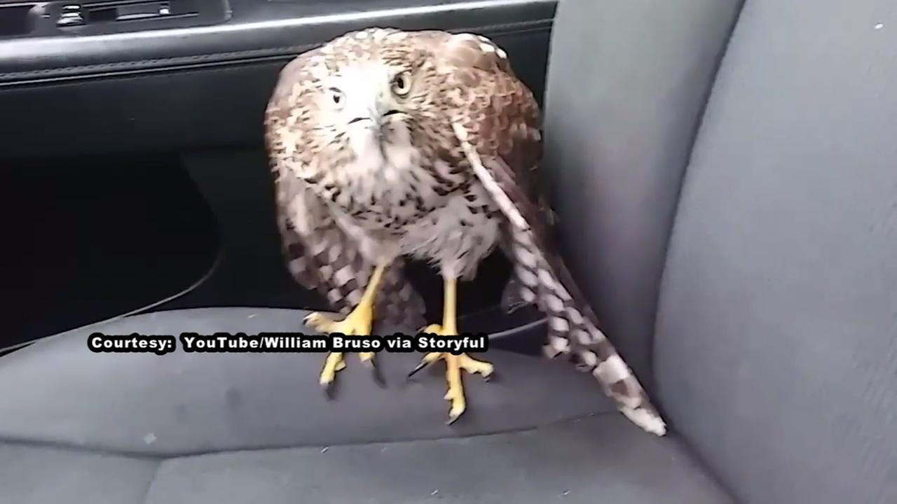 Hawk takes shelter in taxi ahead of Hurricane Harvey