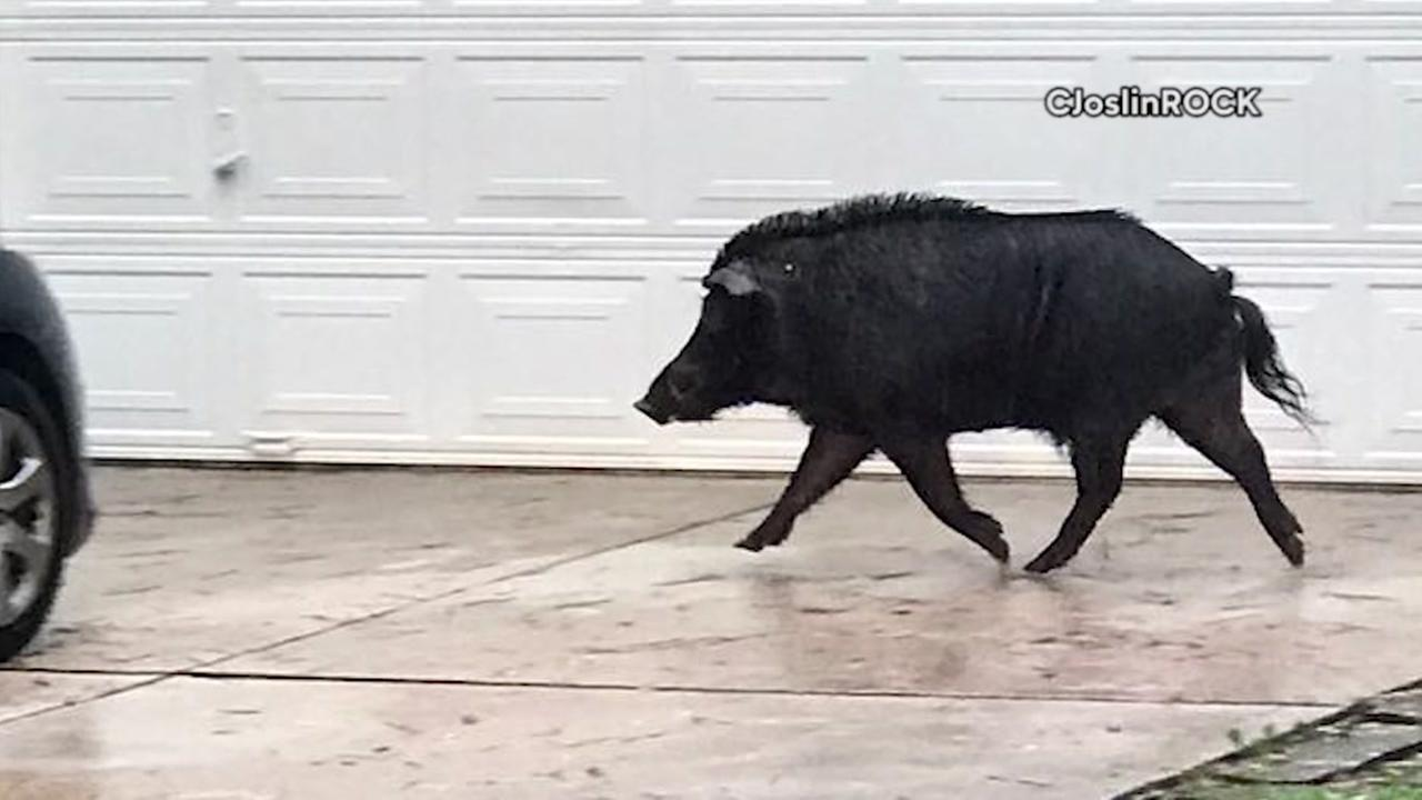 Wild hog running through Woodlands neighborhood