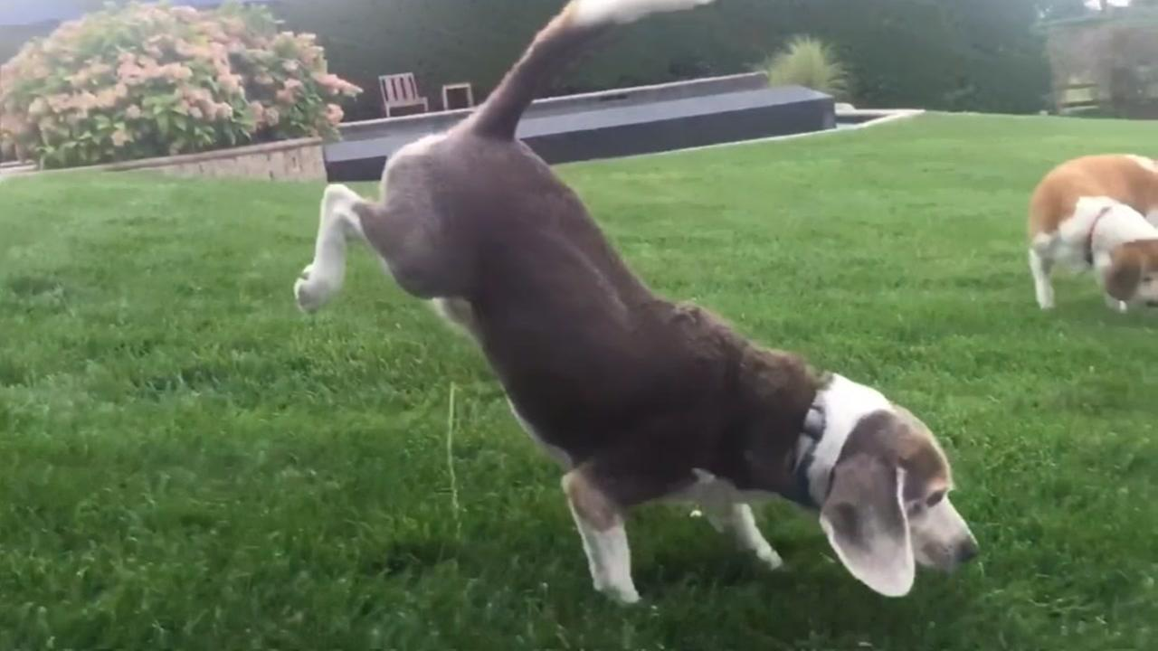 Beagles odd peeing ritual involves handstand
